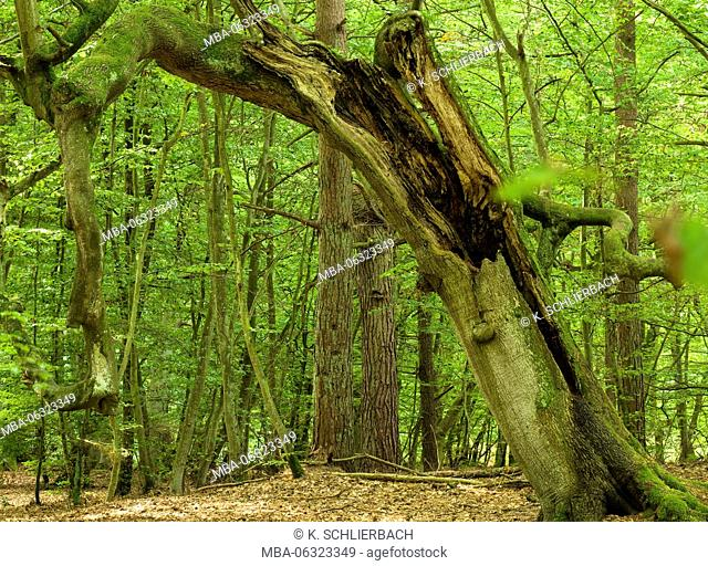Germany, Mecklenburg-Western Pomerania, Western Pomerania Lagoon Area National Park, Darss Forest, broken warped European beech
