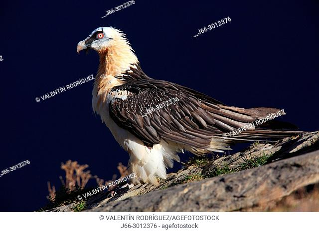 Bearded vulture (Gypaetus barbatus) in the Ordesa y Monte Perdido national park. Huesca