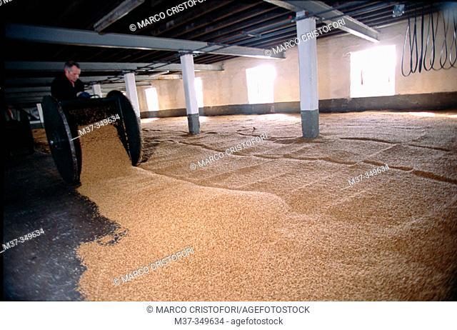 Drying grain. Laphroaig whisky distillery. Islay island. Scotland. UK