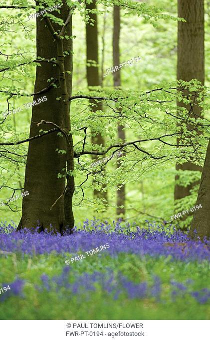 Hyacinthoides non-scripta, Bluebell wood