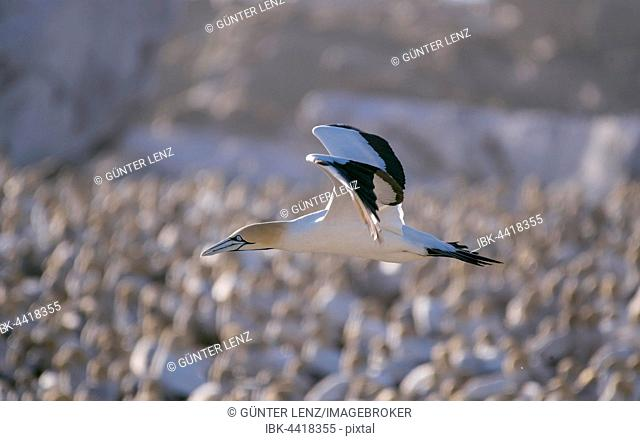 Cape gannet (Morus capensis) in flight by colony on Bird Island in Lambert's Bay, Western Cape, South Africa