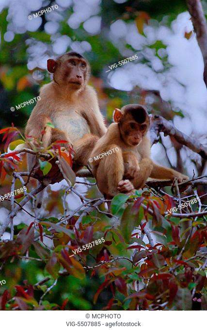 A mother and baby SHORT TAILED or STUMP TAILED MACAQUE (Macaca arctoices) in the KINABATANGAN RIVER WILDLIFE SANCTUARY - SABAH, BORNEO - , 06/04/2014