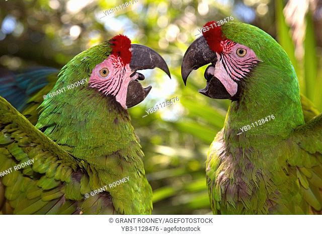 Colourful Macaws, Quintana Roo State, Mexico