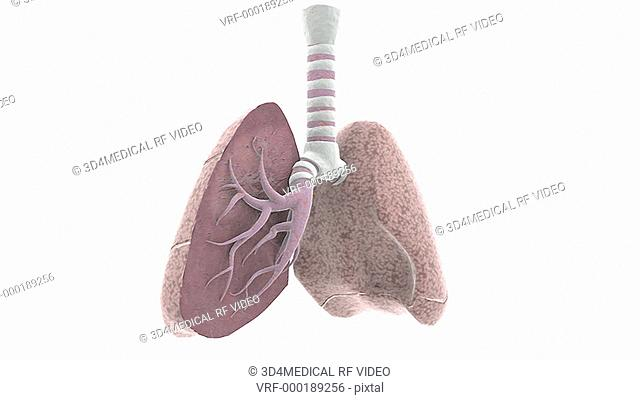 Animation depicting a rotation of the lungs with a section of the right lung removed to show the inner bronchi