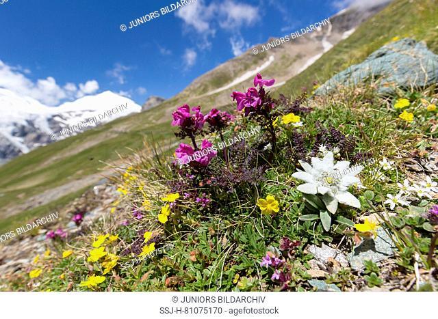 Edelweiss (Leontopodium nivale alpinum), flowering plant in alpine surroundings. Hohe Tauern National Park, Carinthia, Austria
