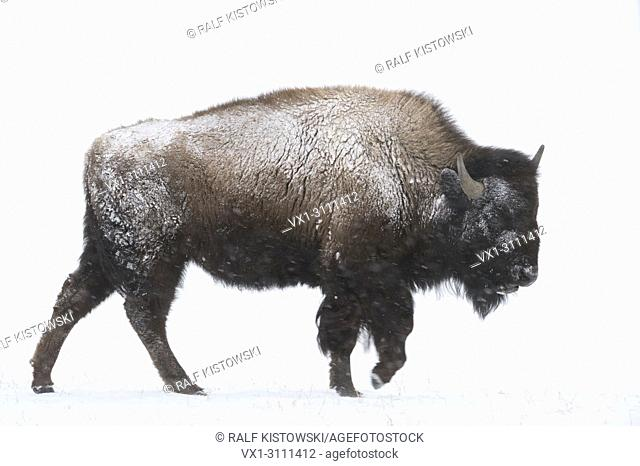 American bison / Amerikanischer Bison ( Bison bison ) in winter, young bull, walking through snow, blowing snow, snowfall, Yellowstone, Wyoming, USA