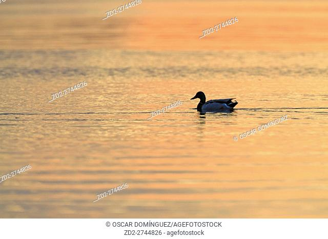 Low angle view of Mallard (Anas platyrhynchos) male swimming on water. Ammersee. Upper Bavaria. Germany