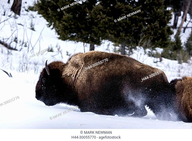 bison in winter, yellowstone