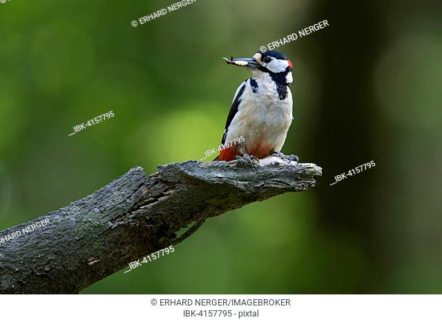Great Spotted Woodpecker (Dendrocopos major), Emsland, Lower Saxony, Germany