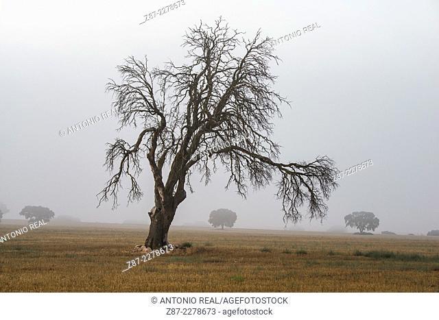 Dead holm oak and fog, Alpera, Albacete province, Castilla-La Mancha, Spain