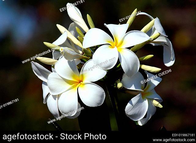Frangipane flower
