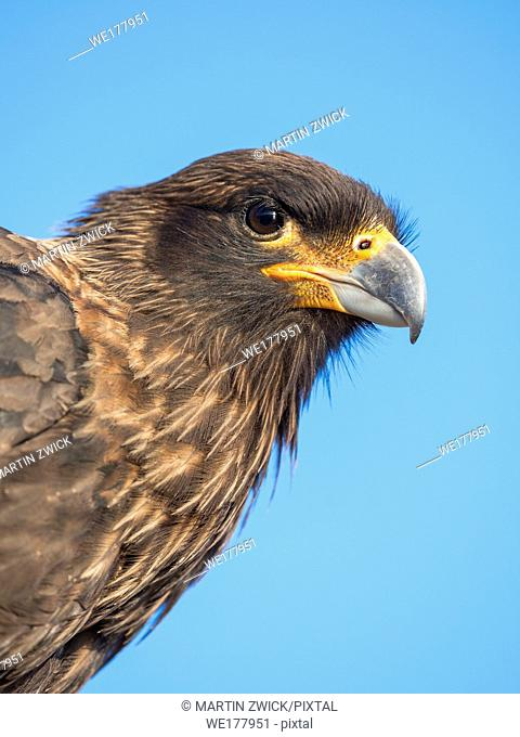 Adult, with typical yellow skin in face. Striated Caracara or Johnny Rook (Phalcoboenus australis), protected, endemic to the Falklands and highly intelligent...