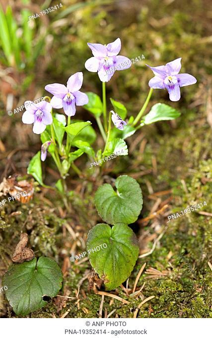 Common Dog-violet Viola riviniana - Hohn Valley, Kelmis, Liege, Wallonia, Belgium, Europe