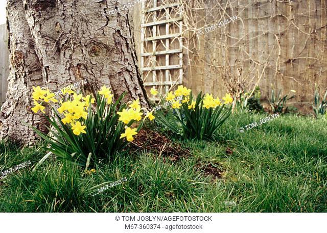 Dwarf Daffodil (Narcissus Tete a tete) in garden England UK