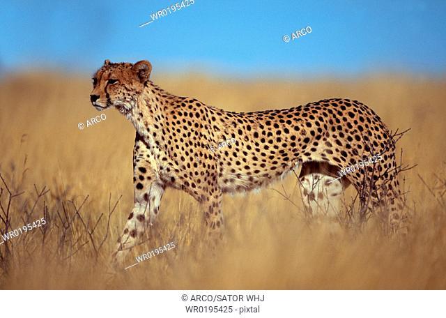 Cheetah, Kalahari, Gemsbok, Park, South, Africa, Acinonyx, jubatus