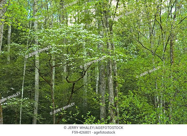 Spring Foliage & Dogwoods, Greenbrier, Great Smoky Mtns National Park, TN