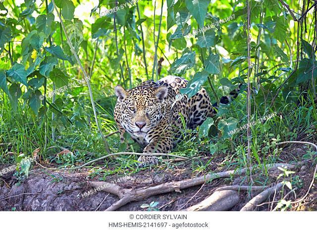 Brazil, Mato Grosso, Pantanal region, jaguar (Panthera onca), walking