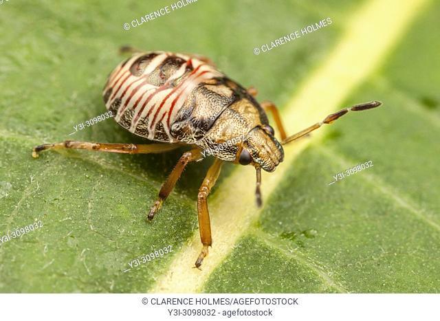 A Stink Bug (Podisus sp. ) nymph perches on a leaf