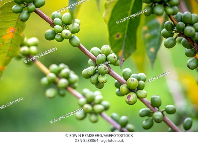 Unripe coffee beans growing on tree in Rwanda