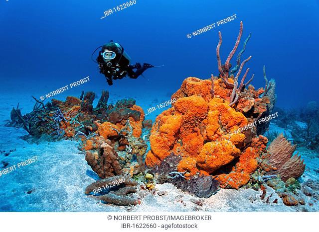 Scuba diver observing a reef formation, various colourful sponges, Orange Elephant Ear Sponge (Agelas clathrodes), coral, sandy bottom, Little Tobago, Speyside