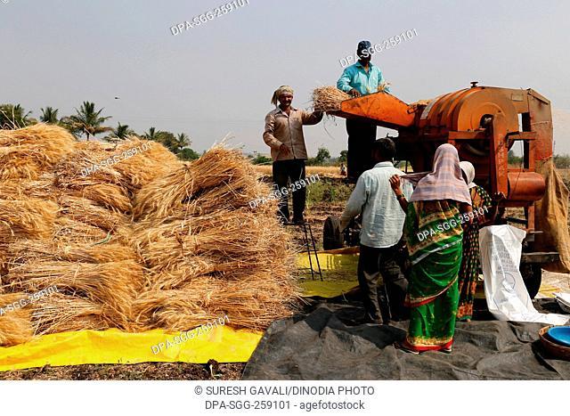 Wheat crop threshing, Chinchani, Maharashtra, India, Asia