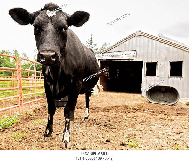 USA, Maine, Knox, Cow standing beside barn