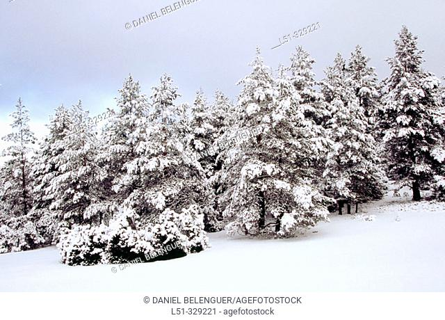 Snow covered Pines (Pinus sylvestris) in Rincón de Ademuz. Comunidad Valenciana. Spain