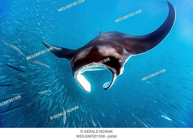 Mexico, Yucatan, Isla Mujeres, Caribbean Sea, Manta ray, Manta, eating plankton