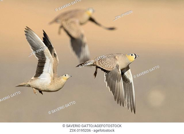 Crowned Sandrgouse (Pterocles coronatus), three adults in flight