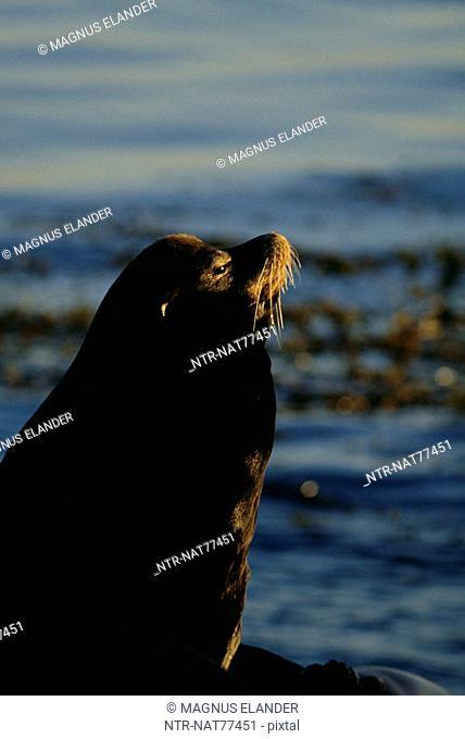 A sea lion
