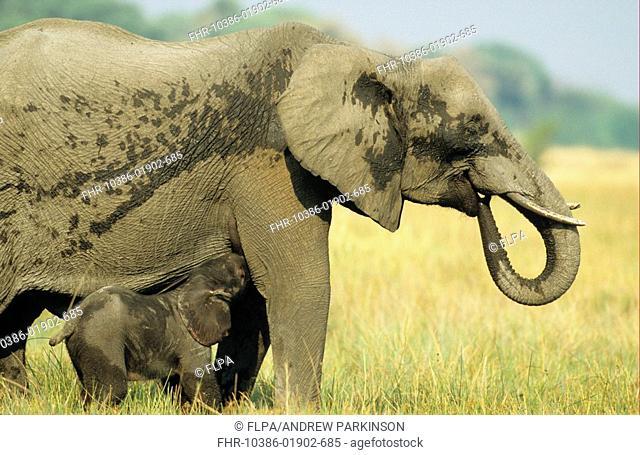 African Elephant Loxodonta africana young mother and new-born calf feeding, fringe of Khwai River, Moremi Game Reserve, Botswana