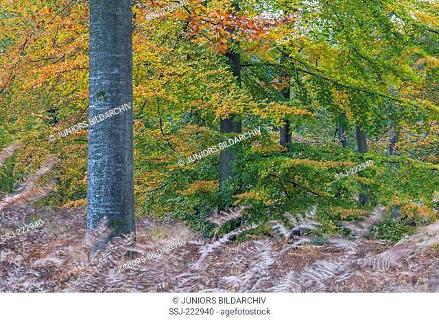 Braken (Pteridium aquilinum) in a Common Beech forest in Fall, Westensee, Schleswig-Holstein