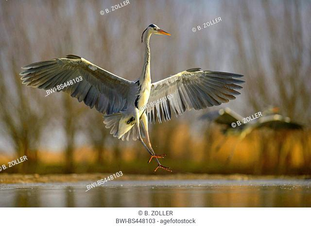 grey heron (Ardea cinerea), in flight, landing in a fishpond, Hungary, Kiskunsag National Park