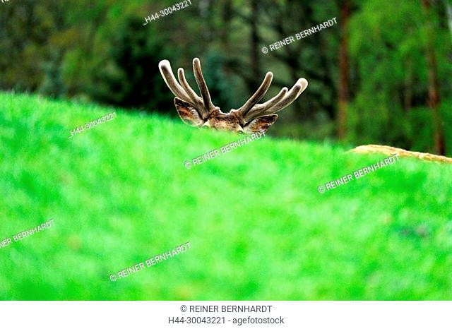 Cerviden, Cervus elaphus, local game, Endemically, antlers, antler bearer, deer, deer, hoofed animals, red deer, red deer, red deer in the spring, red deer