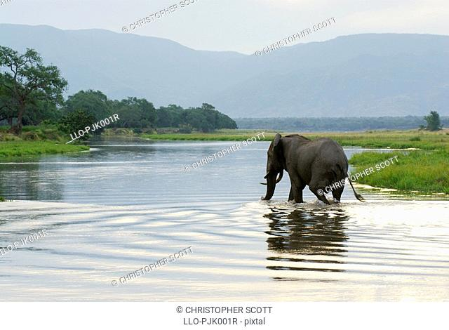 Large bull elephant Loxodonta Africana crosses the Zambezi river from Zambia into Zimbabwe. Mana Pools National Park, Mashonaland, Zimbabwe, Africa