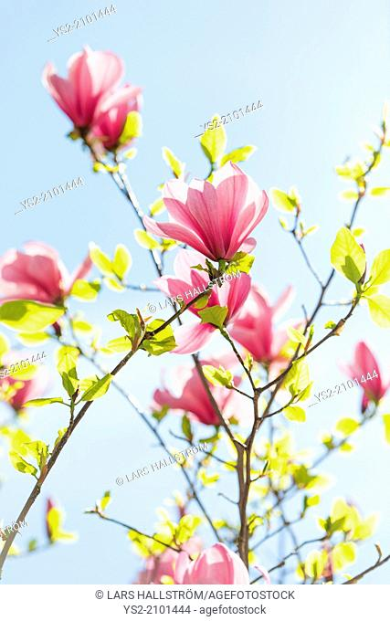 Closeup of pink magnolia flowers growing on a tree at spring with blue sky in the background