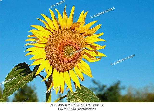 Sunflower plant (Helianthus annuus). Location: Male Karpaty, Slovakia