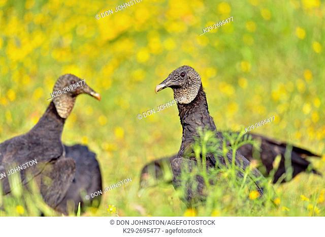 Black vulture (Coragyps atratus) Scavenging roadkill, Spicewood, Texas, USA