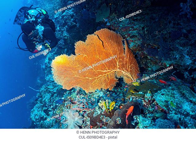 Underwater view of diver exploring sea fan at the Tubbataha Reefs Natural Park, Cagayancillo, Palawan, Philippines
