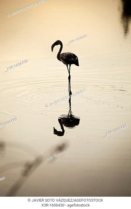 Flamingo at sunset on a lake in the National park of Doñana Spain