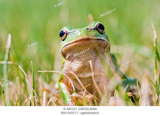 Small green frog on grass