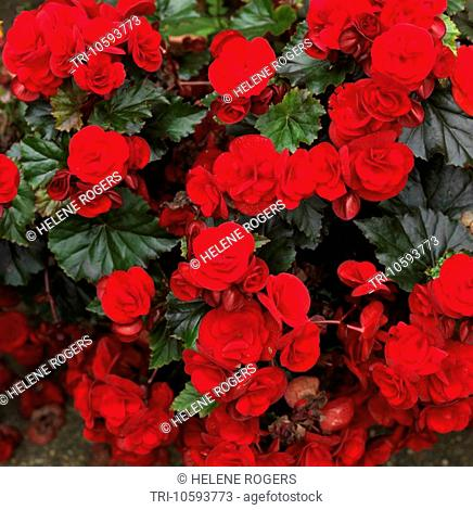 Red Begonia in Garden