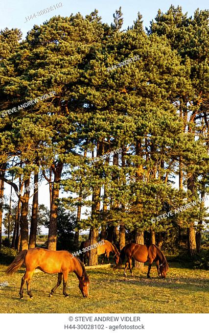 England, Hampshire, New Forest, Horse Grazing and Woodland
