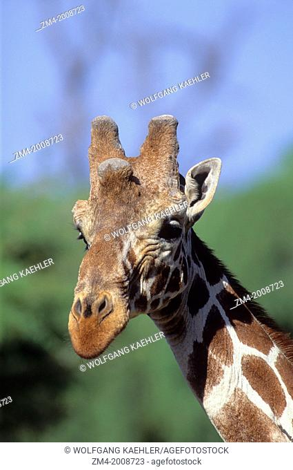 KENYA, SAMBURU, RETICULATED GIRAFFE, CLOSE-UP