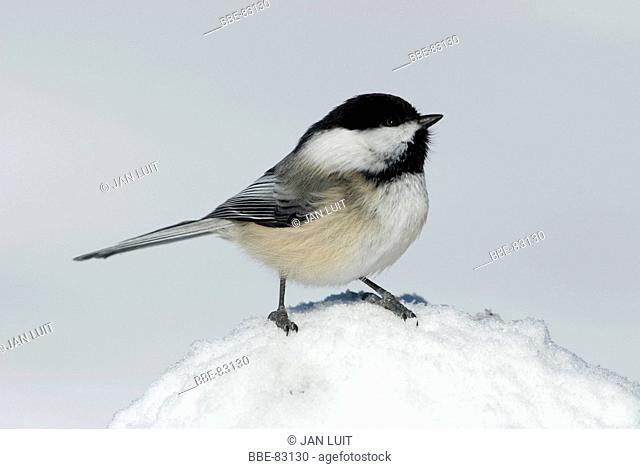 A Black-capped Chickadee sitting on snow