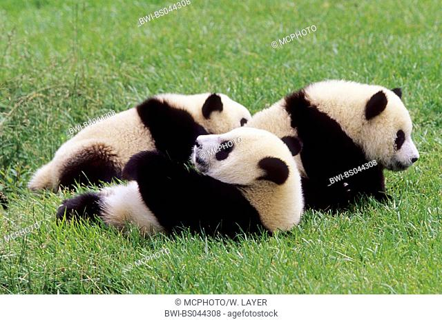 giant panda (Ailuropoda melanoleuca), three eight months old Giant Pandas in the research station of Wolong, national animal of China, China, Sichuan, Wolong