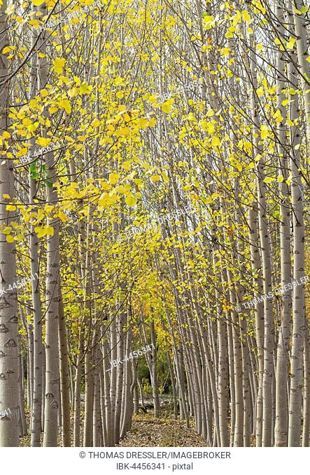Yellow aspens (Populus tremula) in autumnal colours, cultivated for timber, near Guadix, Granada province, Andalusia, Spain