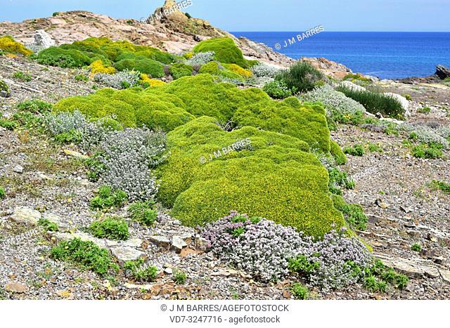 Socarrell gros (Anthyllis hystrix) is a spiny shrub endemic to Menorca north coast. This foto was taken in Cala Mica, Menorca, Balearic Islands, Spain