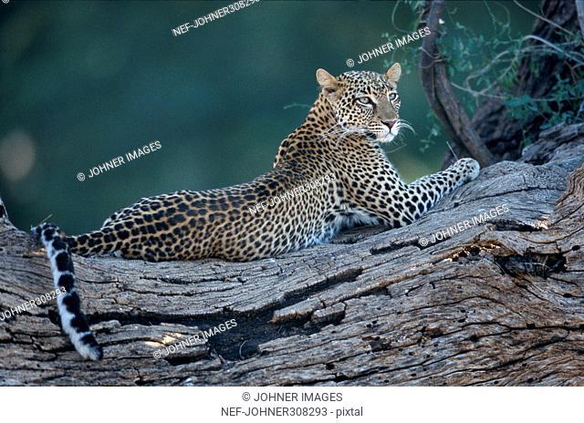 A cheetah lying down
