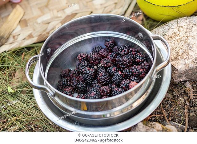 Blackberries in a pot
